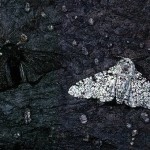 falena bianca nera