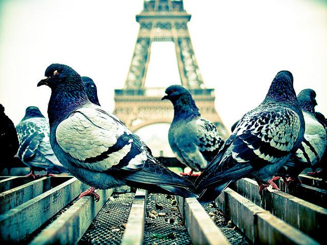 piccioni falena bianca