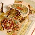 iconografia anatomica
